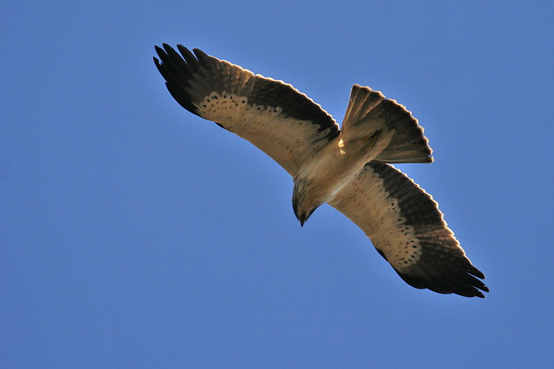 Aigle de bonelli oiseaux