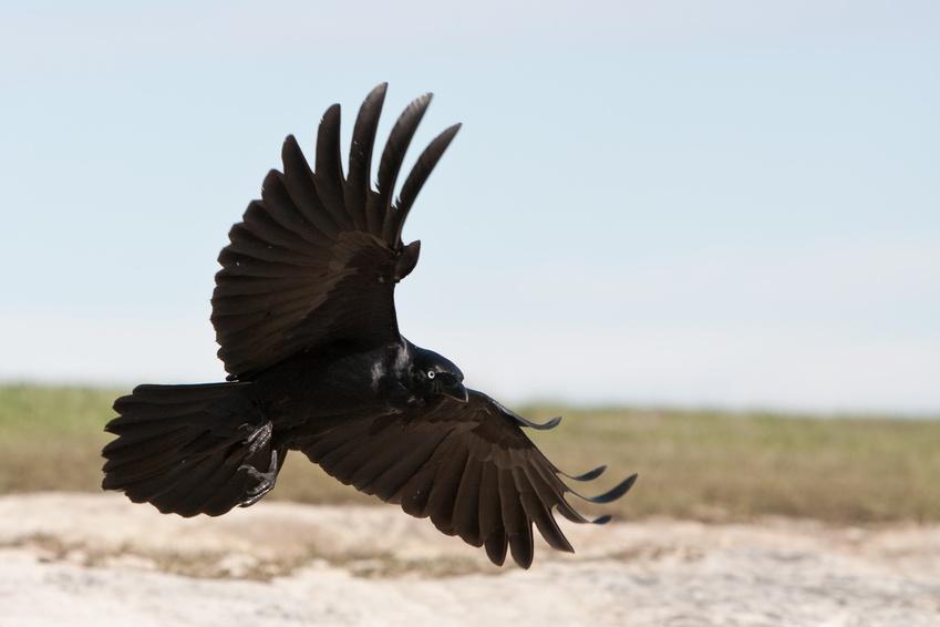 Corneille noire oiseaux