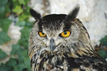 Hibou grand duc oiseaux
