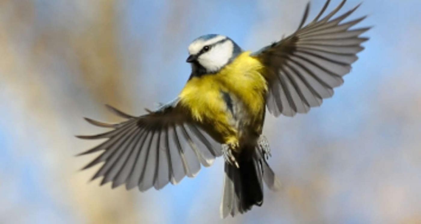 Mesange bleue oiseaux