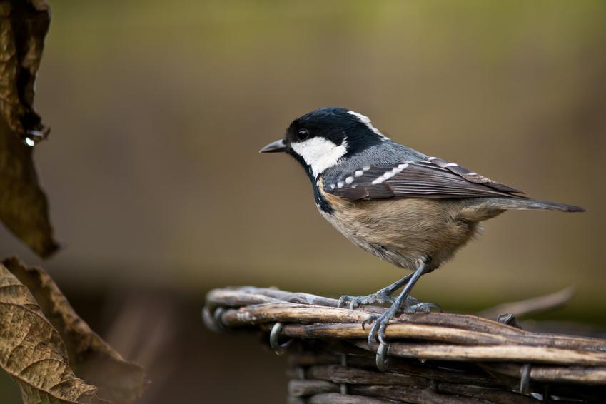 Mesange noire oiseaux