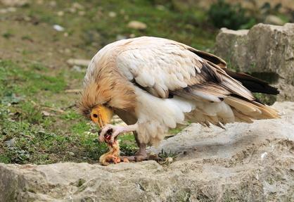 Vautour percnoptere oiseaux